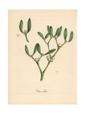 Mistletoe, Viscum Album Giclee Print by M.A. Burnett