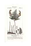 Pine Fern, Anemia Adiantifolia Giclee Print by Pierre Turpin