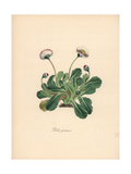 Common Daisy, Bellis Perennis Giclee Print by M.A. Burnett