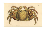 Red Rock Crab, Cancer Grapsus Giclee Print by Richard Nodder