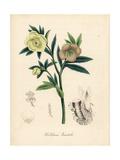 Lenten Rose, Helleborus Orientalis Giclee Print by M.A. Burnett