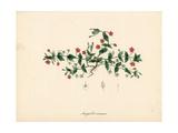 Scarlet Pimpernel, Anagallis Arvensis Giclee Print by M.A. Burnett