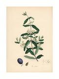 Olive, Olea Europaea Reproduction procédé giclée par M.A. Burnett