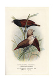 Chestnut Munia and White-Headed Munia Giclee Print by Frederick William Frohawk