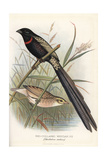 Red-Collared Widowbird, Euplectes Ardens Giclee Print by Frederick William Frohawk
