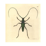 Lady Capricorn Beetle, Callichroma Virens Giclee Print by Richard Nodder