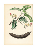Tamarind, Tamarindus Indicus Giclee Print by M.A. Burnett