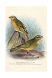 Cape Canary and Brimstone Canary Giclee Print by Frederick William Frohawk