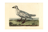 Black-Faced Sheathbill, Chionis Minor Giclee Print by Richard Nodder
