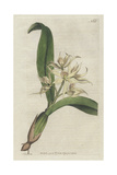 Sweet-Scented Epidendrum, Encyclia Fragrans Giclee Print by Sydenham Edwards