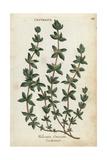 Crosswort, Cruciata Laevipes Giclee Print