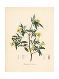 Apple Berry or Apple Dumpling, Billardiera Scandens Giclee Print by M.A. Burnett