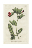 Winged Lotus or Winged Pea, Lotus Tetragonolobus Giclee Print by Sydenham Edwards