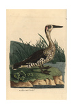 Pink Eared Duck, Malacorhynchus Membranaceus Giclee Print by Richard Nodder