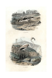 Pied Avocet and Greater Flamingo Giclee Print by Edouard Travies