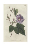 Azure Convolvulus or Morning Glory, Ipomoea Hederacea Giclee Print by James Sowerby