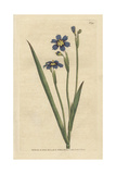Iris Leaved Sisyrinchium, Sisyrinchium Angustifolium Giclee Print by James Sowerby