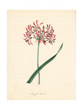 Waved-Flowered Amaryllis, Nerine Undulata Giclee Print by M.A. Burnett