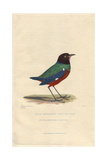Red-Bellied Ant-Eater, Pitta Erythrogaster Giclee Print by Charles Hamilton Smith