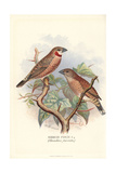 Cut-Throat Finch, Amadina Fasciata Giclee Print by Frederick William Frohawk