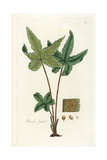 Starfern or Palmated Hemionitis, Hemionitis Palmata Giclee Print by William Jackson Hooker