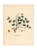 Lotus Tree, Ziziphus Lotus, with Leaf, Flower, Thorn and Berry Giclee Print by M.A. Burnett