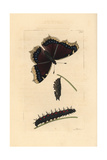 Great Camberwell or Mourning Cloak Butterfly, Nymphalis Antiopa Giclee Print by Richard Nodder