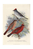 Grey-Pileated Finch and Red-Crested Finch Giclee Print by Frederick William Frohawk