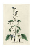 Billygoat-Weed or Hairy Ageratum, Ageratum Conyzoides Giclee Print by William Jackson Hooker