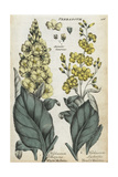 White Mullein, Verbascum Thapsus, and Hoary Mullein, V Lychnitis Giclee Print
