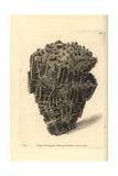 Organ Madrepore, Madrepora Musicalis Giclee Print by Richard Nodder