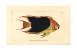 Rock Beauty, Holacanthus Tricolor Giclee Print by Richard Nodder