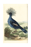 Western Crowned Pigeon, Goura Cristata Vulnerable Giclee Print by Richard Nodder