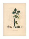 Castor Oil Plant, Ricinus Communis Giclee Print by M.A. Burnett