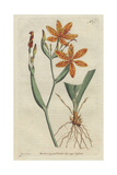 Chinese Ixia, Belamcanda Chinensis Giclee Print by Sydenham Edwards