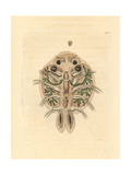 Water Flea, Cyclops Cyprinaceus Giclee Print by Richard Nodder