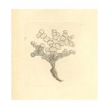 Halimeda Tuna Algae Giclee Print by Frederick Nodder
