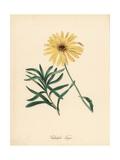Glandular Cape Marigold, Dimorphotheca Sinuata Giclee Print by M.A. Burnett