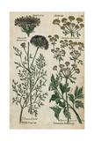 Wild Carrot, Daucus Carota, and Celery, Apium Graveolens Giclee Print
