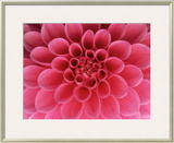 Hot Pink Dahlia Flower Framed Photographic Print by John McAnulty