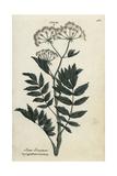 Upright or Cutleaf Water Parsnip, Berula Erecta Giclee Print