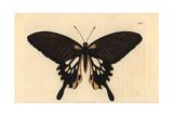 Papilio Deiphobus Variety Giclee Print by Richard Nodder