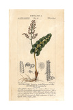 Moonwort Fern, Botrychium Lunaria Giclee Print by Pierre Turpin
