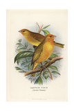 Saffron Finch, Sicalis Flaveola Giclee Print by Frederick William Frohawk