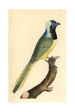 Green Jay, Cyanocorax Yncas Giclee Print by Richard Nodder
