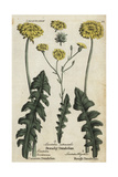 Dandelion, Branchy Dandelion, and Rough Hawkbit Giclee Print