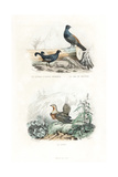 Black Grouse, Western Capercaillie and Pin-Tailed Sandgrouse Giclee Print by Edouard Travies