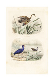 Sunbittern, Purple Swamphen and Common Moorhen Giclee Print by Edouard Travies