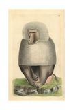 Hamadryas Baboon, Papio Hamadryas Giclee Print by Frederick Nodder