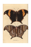Caerois Chorinaeus Butterfly Giclee Print by Richard Nodder